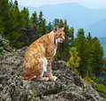 Lynx in wildness area Royalty Free Stock Photography