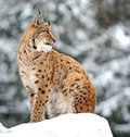Lynx winter Royalty Free Stock Photos