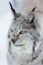 Lynx in the winter a european forest february norway Stock Photography