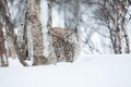 Lynx in winter forrest a european the snow cold february norway Stock Images
