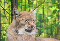 Lynx yawning 1 Royalty Free Stock Photos