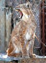 Lynx yawning. Royalty Free Stock Photography