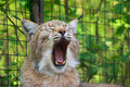 Lynx yawns Royalty Free Stock Photo