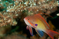 Lyretail anthias Royalty Free Stock Photos