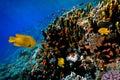 Lyretail Anthias fish on a coral reef Royalty Free Stock Photo