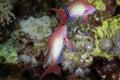 Lyretail anthias in the Red Sea. Royalty Free Stock Photo