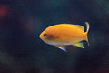 Lyretail fairy basslet fish Pseudanthias Royalty Free Stock Photo