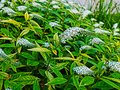 Lysimachia clethroides flowers blooming in summer Royalty Free Stock Photo