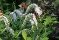 Lysimachia In The Garden
