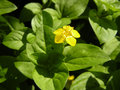 Lysimachia yellow flower of plant Stock Photo
