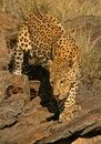 Männlicher Leopard Stockbild
