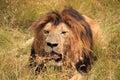 Męski lew odpoczywa w trawie Obrazy Royalty Free