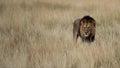 Męski lew w trawie Zdjęcia Royalty Free