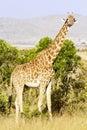 Maasai mara giraffe Fotos de archivo libres de regalías