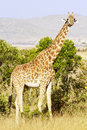 Maasai mara giraffe giraffa camelopardalis on the national reserve safari in southwestern kenya Royalty Free Stock Photos