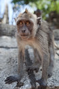 Macaca fascicularis the portrait close up Stock Image