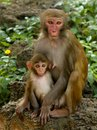 Macaca mulatta Stock Photography