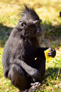 Macaca nigra baby eating fruit and watching Stock Image
