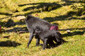 Macaca nigra baby and mama playing Royalty Free Stock Photos
