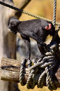 Macaca nigra baby playing on a log Stock Images