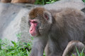 Macaco do Macaque (neve) Imagem de Stock Royalty Free