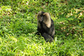 Macaque Royalty Free Stock Images