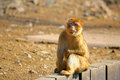 Macaque barbary summery view species macaca sylvanus Stock Images