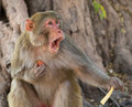 Macaque a bares his teeth Royalty Free Stock Photos