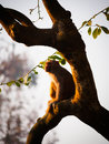 Macaque contemplative rhesus macaca mulatta in bardia national park nepal Royalty Free Stock Image