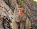 Macaque a eats a tomato Stock Photography