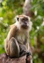 Macaque monkey Royalty Free Stock Images