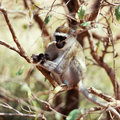 Macaque monkey ape herd tree branch forest africa tanzania bush Stock Photography