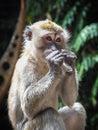 Macaque Monkey at Batu Caves, Kuala Lumpur, Malaysia Royalty Free Stock Photo