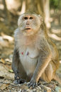 Macaque monkey in Cambodia Stock Image