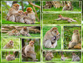 Macaque monkey collage family of monkeys in forest environment Royalty Free Stock Photos