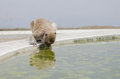 Macaque monkey drinking water in pond Stock Image