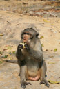 Macaque monkey eating corn on the ground Royalty Free Stock Images