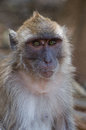 Macaque monkey this foto of a i made during a vacation in khao lak thailand Stock Images