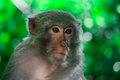 Macaque on monkey island in halong bay vietnam Stock Images
