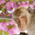 A macaque monkey in the khao takiap area of hua hin in thailand Stock Images