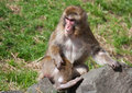 Macaque monkey playing on a big rock Royalty Free Stock Image