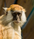 Macaque monkey the portrait of Royalty Free Stock Photo