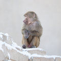 Macaque monkey resting