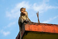 Macaque monkey on a roof on elephanta island Royalty Free Stock Photos