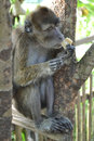 Macaque monkey sitting on a tree Stock Images