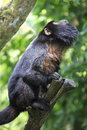 Macaque monkey standing on branch Royalty Free Stock Photos