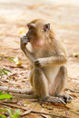 Macaque monkey in Thailand Stock Image