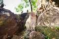 Macaque monkey in Thailand Royalty Free Stock Images