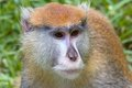 Macaque Monkey Thinking