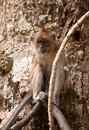 Macaque monkey in tree Royalty Free Stock Image